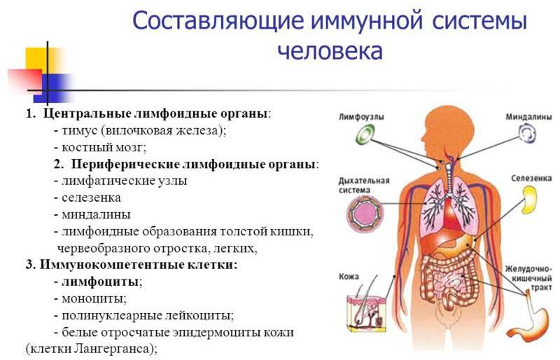 иммунитет человека